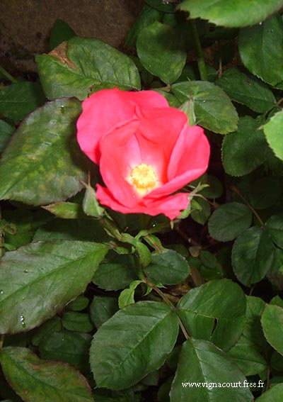 Rose Picardy, flower
