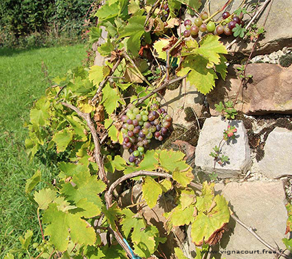 The grapevine in Vignacourt
